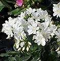 Lewisia cotyledon – Porzellanrösschen – Bitterwurz, weiß, im Topf 11 cm, in Gärtnerqualität von Blumen Eber von Blumen Eber bei Du und dein Garten