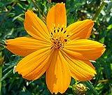 HATCHMATIC 1pc: tubercule Dahlia FRU Tutti. bulbes de Fleurs, Rhizome de Jardin, Pas de graines!