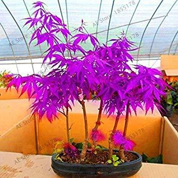 vonly Neue Frische Topfpflanze Garten japanischen Red Maple Bonsai-Baum Flores, 20 PC/Satz, sehr schön Indoor Baum: 4 - Red Maple