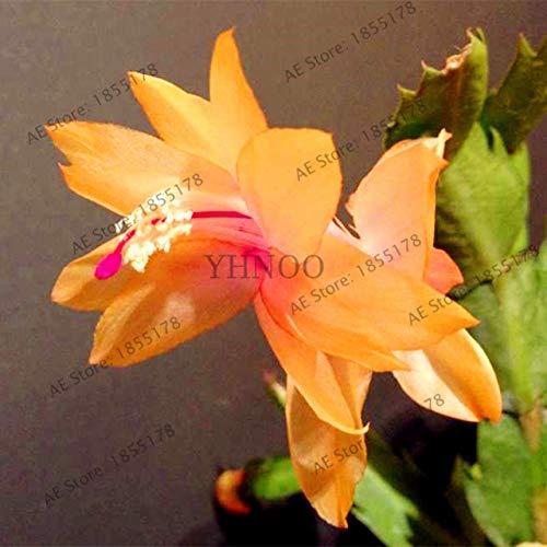 Pinkdose 100pcs / bag schlumbergera flores Weihnachtskaktus Pflanze plantas, mehrfache Farbe, Bonsai-Anlage für Haus und Garten, leicht zu Werk: 19