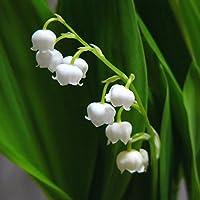 WuWxiuzhzhuo - Juego DE 20 Semillas de Flores de Lirio del Valle para Jardín, Bonsai