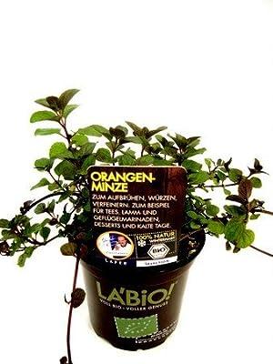 Bio Orangenminze Kräuterpflanze von LÀBiO! Kräuter bei Du und dein Garten