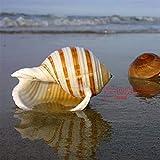 ZANGAO Shell Mare Naturale Conchiglia Lumaca carro Armato di Pesci Decorazione Rotolo molluschicoltura Shell Micro-Paesaggio Succulente Flower Pot (Color : Light Grey, Size : 9 10CM)