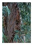 Eucalyptus citriodora - eucaliptus de limón - 100 semillas