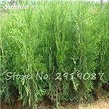VISTARIC 6: 20Pcs Zypressen Samen Fleshy Platycladus Orientalis Orientalische Lebensbaum-Samen Conifer Samen Staudengarten Pflanzen Easy Grow 6