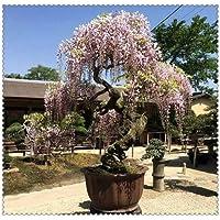 Suchergebnis Auf Amazon De Fur Seltene Baume Zimmerpflanzen Garten