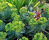 PlenTree 10 Euphorbia myrsinites (Myrtle Spurge Seeds) Bassa attraente Crescere Succulente