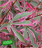 BALDUR-Garten Japanischer Zwerg- Ahorn 'Marlo', 1 Pflanze Acer palmatum Ahornbaum winterhart