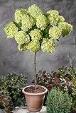 Dominik Blumen und Pflanzen, Rispenhortensie Lime Light® als Stämmchen gezogen weiß blühend, 1 Stämmchen,