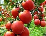 Pink Giant Tomatensamen De Barao Gigant Rozovyy Russisch Erbstück NON-GMO