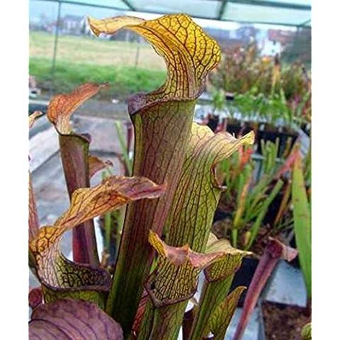 Sarracenia rubra ssp. alabamensis Typ Koenig - Sarracena, Planta de jarra Norteamericana, Plantas trompeta, Cuerno de caza - 10