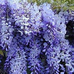 Fash Lady 10 stüCke Schöne Gartenpflanzen Glyzinie Blume Glyzinien Bonsai Blume DIY hausgarten # 2024: 6