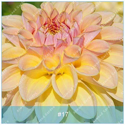 Galleria fotografica Fash Lady ZLKING 2 pz Real Dahlia Lampadine Fiore Bonsai Bulbi Da Fiore Non Dahlia Pianta Perenne Bulbi in vaso Radice Per La Casa Giardino: 17