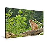 Premium Textil-Leinwand 75 cm x 50 cm quer, Alles im Blick - Erwachsener Luchs sitzt auf einem Baumstamm | Wandbild, Bild auf Keilrahmen, Fertigbild Wald, Deutschland (CALVENDO Tiere)