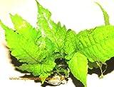 3 Töpfe Bolbtis heteroclita, asiatischer Wasserfarn