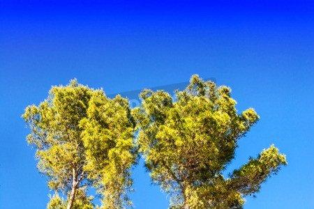 Palm Pine Tree (Holz-Bild 140 x 90 cm: