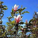 Tulpen Magnolie Heaven Scent 100-125cm - Magnolia soulangiana
