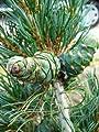 japanische Mädchenkiefer Pinus parviflora Glauca 30 - 40 cm hoch mit Ballen von Plantenwelt Wiesmoor auf Du und dein Garten