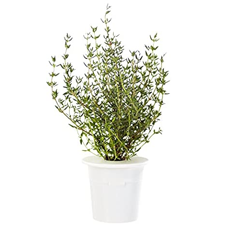 Click & Grow Thyme Refill 3-Pack for Smart Herb Garden