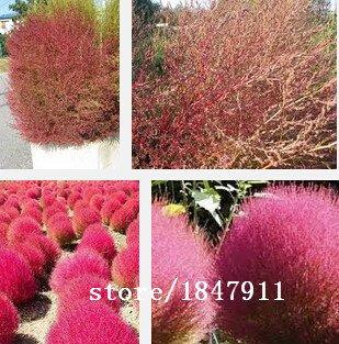 Galleria fotografica Grande vendita di vendita calda 500pcs piante semi Kochia bonsai giardino domestico fai da te di semi di erba