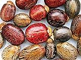 10 Ricino Tropical Mix, semi Ricinus communis Impala Rare Jatropha Ricino olio vegetale