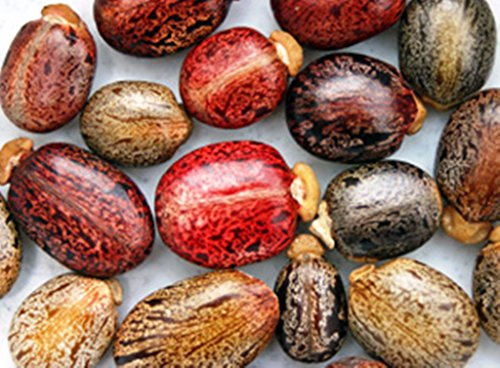 10 Castor Bean Tropical Mix, Rizinus Communis Impala Rare Jatropha Castor Bean Oil Pflanzensamen - Castor Bean