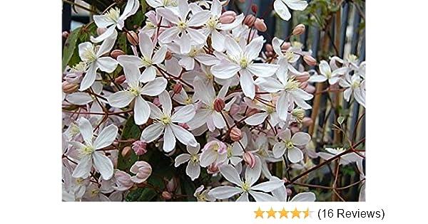 CLEMATIS ARMANDII  Evergreen clematis 9cm pot