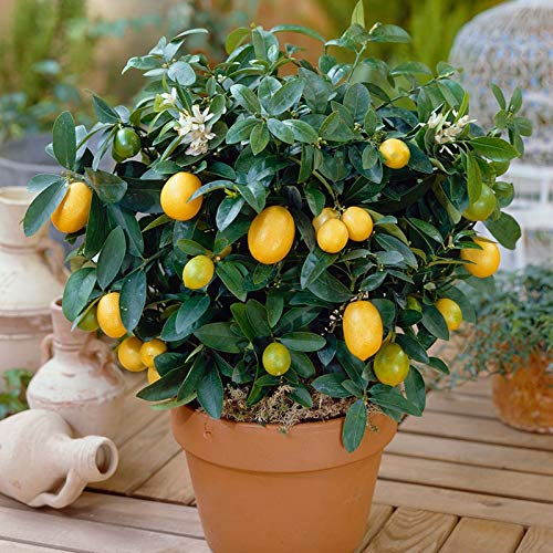Casavidas ZLKING 20 Stück Sehr selten Dwarf Lemon Tree Pflanze DIY Hausgarten Bonsai Citrus Limon Baum Obst Garten Terrasse -