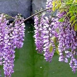 Fash Lady 10 stüCke Schöne Gartenpflanzen Glyzinie Blume Glyzinien Bonsai Blume DIY hausgarten # 2024: 7