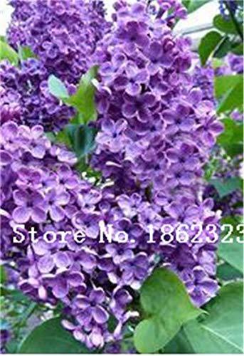 Prime vista 100 pz/borsa bonsai lilla bonsai lilla giapponese (estremamente profumato) chiodo di garofano fiore bonsai lilla alberi pianta da esterno per la casa giardino: 13