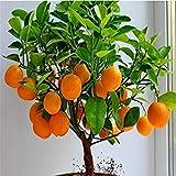 Vistaric Obst samen Zwerg Stehen Orangenbaum samen Zimmerpflanze in Topf garten dekoration anlage 30 stücke