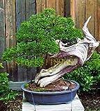 Sementes Blumensamen Bonsai Samen 50 Stück der japanischen Zeder - Cryptomeria Japonica Baum Evergreen HauptGardening,