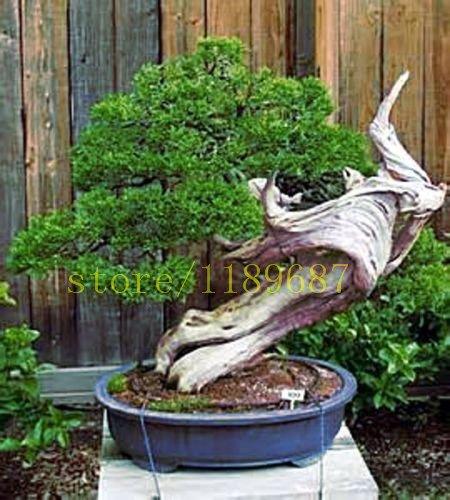 1bag = 20 pcs bonsaï Pin graines rares japonais graines de pin noir de maison jardin