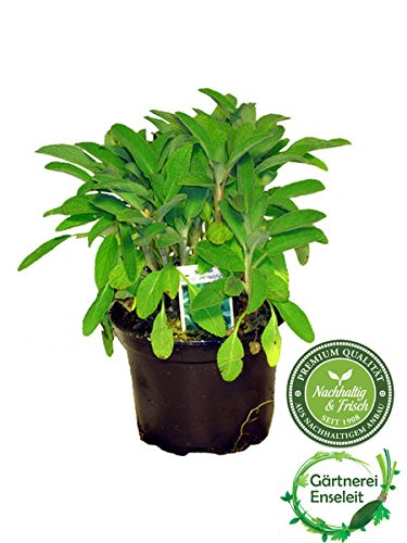 Salbei Growers Salvia officinalis - Salvia Officinalis-salbei