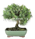 Bonsai - Pino de alepo/ Pim carrasco, 9 Años (Bonsai Sei - Pinus Halepensis)
