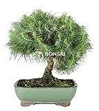Bonsai - Pino de alepo/Pim carrasco, 9 Años (Bonsai Sei - Pinus Halepensis)