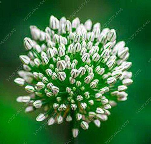 30pcs / sac géant oignon (Allium giganteum) graine rare bonsaïs fleur belle fleur plantes en pot jardin Livraison gratuite Jaune clair