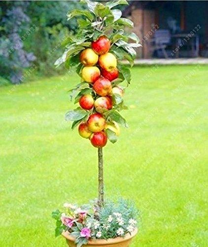 fruit 4 nature, les graines d'arbres fruitiers de bonsaïs, légumes et graines de fruits au total pomme cerise kiwi orange, graines 100+ plantes de jardin non-OGM 20 graines de pomme