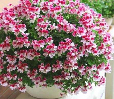 Deux couleurs Rouge Blanc univalve Géranium Graines Graines de fleurs vivaces Pelargonium peltatum Semences pour 100 graines Pièces d'intérieur/Sac 11