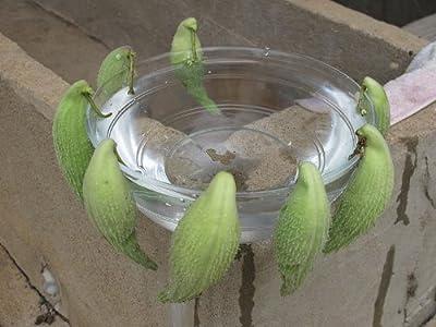 Papageienpflanze (Asclepias syriaca) 10 Samen >Echte Syrische Seidenpflanze< ***WINTERHART*** von Samenchilishop bei Du und dein Garten