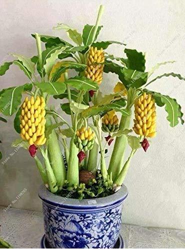 Hemore Lot DE 30 Nain Banana Graines bonsaï, Graines de Fruits tropicaux, bonsaï Fleur de Balcon pour Home Plantation, la Germination du taux DE 95%