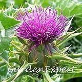 GEOPONICS 30pcs latte Seeds Seeds di semi di fiori di fegato di protezione a freddo resistere Bonsai seme fai da te