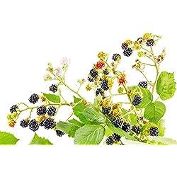 Riesen Brombeeren - Ca. 50 Samen - Gesunde & Vitaminreiche Früchte