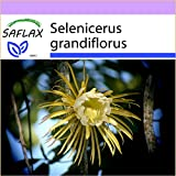 SAFLAX - Kakteen - Königin der Nacht - 40 Samen - Selenicerus grandiflorus