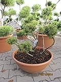 Pinus sylvestris Lettland - Formschnitt der Lettischen Waldkiefer