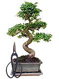 Zimmerbonsai chinesischer Liguster, ca. 9-10 Jahre, ca. 35-40 cm hoch (immergrün) KOSTENLOSE ZUGABE: 1 Bonsaischere