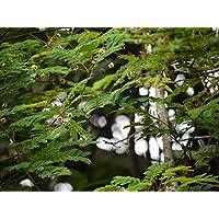 Asklepios-seeds - 50 Samen Acacia concinna