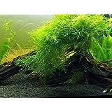 Petzlifeworld Java Moss for Planted Aquarium