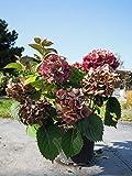 Bauernhortensie Schöne Bautznerin 30-40 cm Strauch für Hell-Halbschatten Zierstrauch rosa-rot blühend Gartenpflanze winterhart 1 Pflanze im Topf