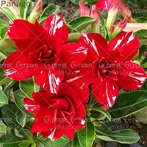 Pinkdose 2pcs Fiore rosa del deserto vero Adenium obesum bonsai fiore pianta piante grasse perenni piante in vaso al coperto per il giardino di casa: 4